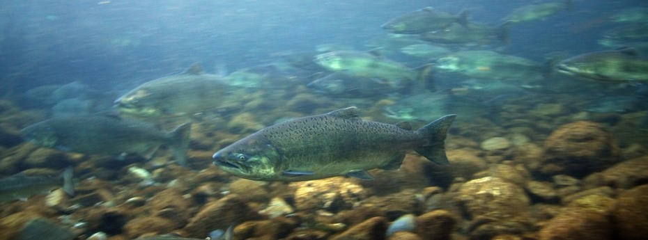 Sacramento and Klamath River salmon ocean abundance forecasts are down in 2016