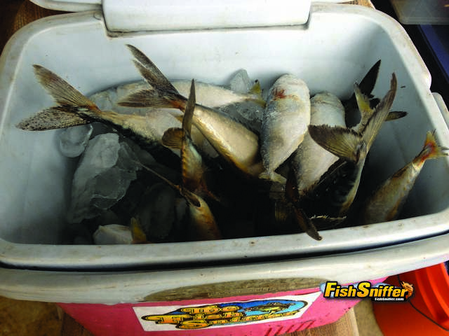 This is a shot of Fish Sniffer editor Cal Kellogg's cooler at the start of a lingcod trip packed with a combination of frozen Spanish mackerel and sardines. Dead baits such as these work great when mooched just off the bottom, particularly when the drift is fairly brisk.