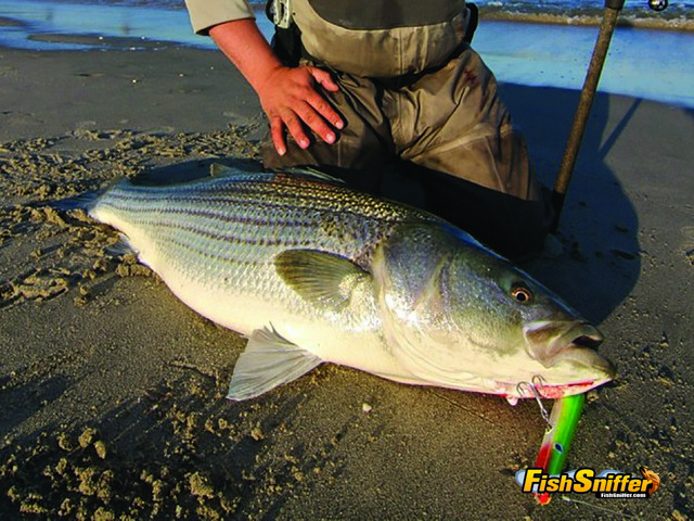 This impressive striper blitzed a Pencil Popper style topwater bait. Pencil Poppers are significantly less expensive than the custom crafted wooden baits that have become the rage in recent years, yet they rival the custom carved and painted baits in terms of effectiveness.