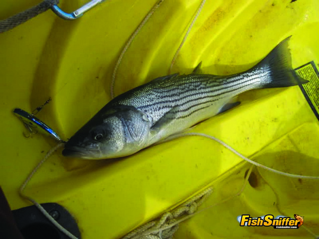 This pansize bass fell for a traditional ½ ounce blue and silver Rat-L-Trap. The shape of Rat-L-Traps closely matches the threadfin shad that represent the primary forage of Delta stripers and the bait's internal rattles draws bass in from great distances.