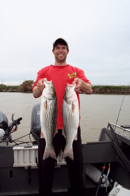 Fish Sniffer field editor Jack Naves rounded up this limit of stripers during a mid-March trolling adventure in the West Delta.