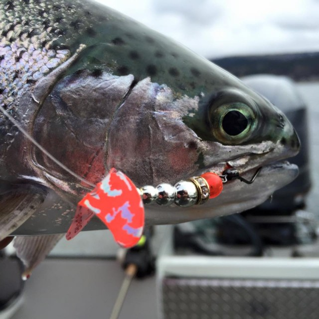 Snelled spinners are winners when it comes to hooking both kokanee and trout. This rainbow pounced on a Mack's Lure Wedding Ring Spinner equipped with a Smile Blade.