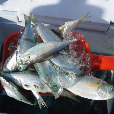 Slinging Shad During The Delta's Fall Striper Season