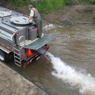 Coleman Fish Hatchery Releases 5,000 Adult Steelhead Back into Sacramento