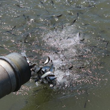 One million salmon released into Sacramento River, but pulse flow request rejected