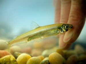 Photo of Delta smelt courtesy of California Department of Water Resources