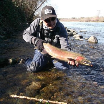 High Flows Draw Some Steelhead Into American River