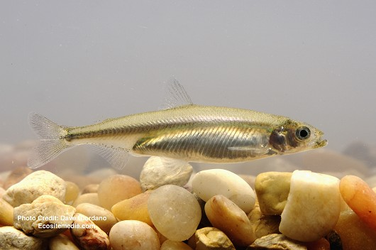 Delta smelt remains on edge of extinction, fall survey reveals
