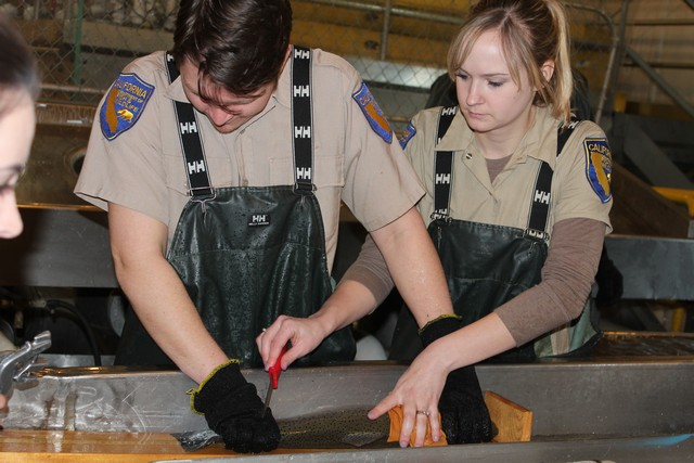 CDFW staff take scale samples of the steelhead to study growth rates.