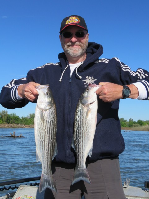 Bill Groome battled a bunch of striped bass while fishing the Feather River on May 5 including these feisty fish.