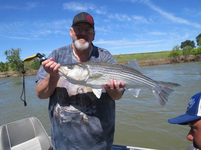 Richard Cummings tempted this husky Feather River female striper with a minnow, while fishing with Captain Manny of MSJ Guide Service and Cal Kellogg of The Fish Sniffer on May 5. The fish was released after the photo.
