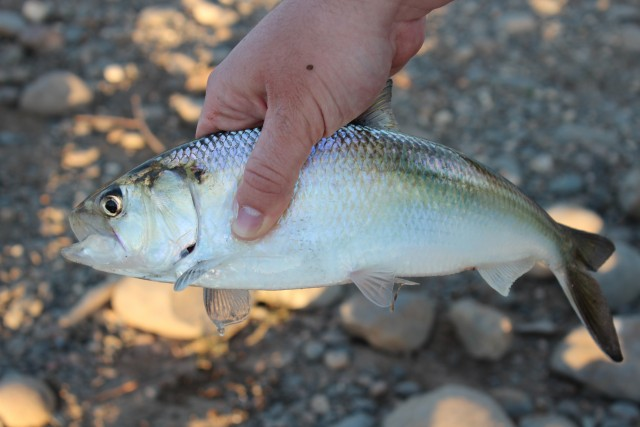 This is a small male shad from the American River. The males show in numbers first during the run, followed later by the larger female shad.