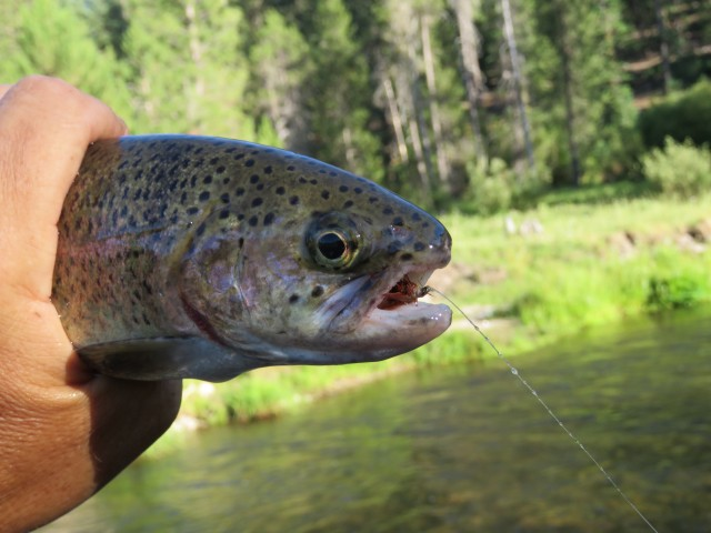This holdover rainbow, bolted from the depths of Deer Creek and slammed a No. 12 Humpy drifted along an undercut bank.