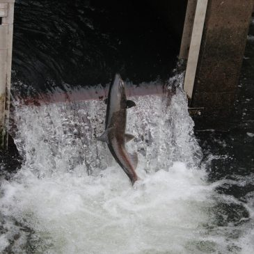 Record Chinook Salmon, Steelhead Returns Reported on Mokelumne River