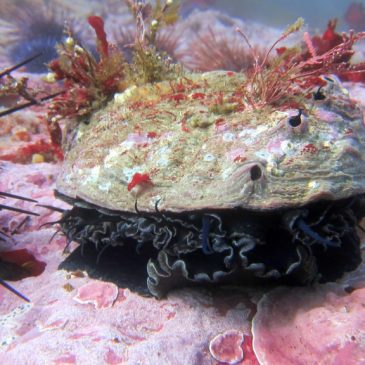 Fish & Game Commission votes to close abalone season next year