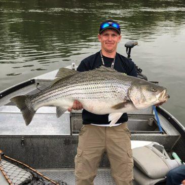 Angler Hooks and Releases Giant 57.10 Lb. Striper on Sacramento River