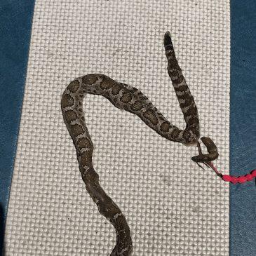 Trout Troller Hooks Rattlesnake-Eating Catfish