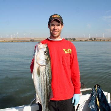 Circle The Wagons For Delta Striped Bass