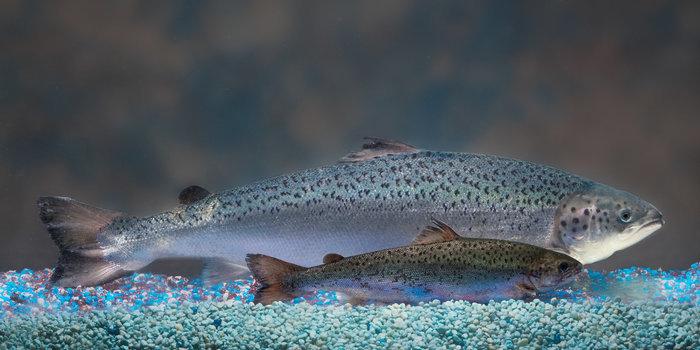 Fish Groups Slam FDA Lifting of Import Ban on GMO Salmon