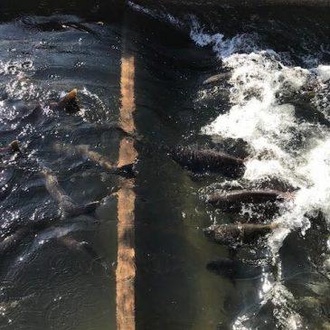 King Salmon Surge Into Nimbus Fish Hatchery on American River